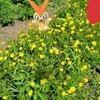 ビクティニ色の花畑に紙吹雪を舞わせて【ポケモンGOAR写真】浜離宮にて
