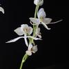 Pectabenaria 'Unregistered' F3