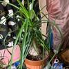 観葉植物 トックリラン(ポニーテール)