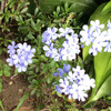 1か月前に植え付けしたルリマツリ、それなりに花盛り!