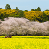 古墳、桜、菜の花の競演=西都原古墳群とコノハナサクヤ姫☆
