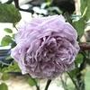ルシエルブルーが咲きました