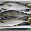 【刺身は絶品!】ヒラマサって魚についてまとめてみました!
