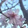 谷中の蓮華寺の10月桜