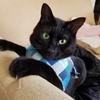 猫の特発性膀胱炎