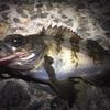 メバルは夜行性の肉食魚!メバルは夜釣りが一番良く釣れる!
