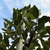 大鉢に植えている月桂樹を一人で植え替えてみた。ローリエの大鉢、重いのなんの。