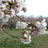 加治川治水記念公園の桜2020(4/4)