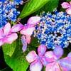 知ってた?アジサイの「花言葉」に陰陽両極の解釈が・・・