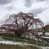 三春 滝桜 まだ1分咲きです