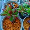 🌵多肉植物  赤く染まった天狗の舞&しいたけ栽培🍄🌵
