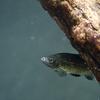 ウシモツゴ Pseudorasbora pugnax