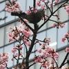 病院敷地内の河津桜にヒヨドリが