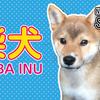 【柴犬】新しい家族ができました! Shiba Inu puppy is a new family!