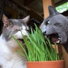 猫草、入荷しました