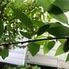 扁桃の果実