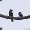 ベリーズ 初めて見た Black-cheeled Woodpecker (ブラックチークド ウッドペッカー)