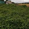 ロータス畑でさつまいもの苗を植えました♪