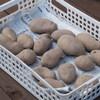 ジャガイモの種芋購入と畝の用意