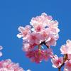 聖崎公園の早春の河津桜