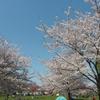 春のピクニック:桜を見に舎人公園へお花見ピクニック!