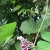 秋の七草 葛(くず)の花♪