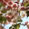 春の昭和記念公園の里桜、野草、小鳥たち。