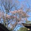 緋寒桜が咲き始めました。