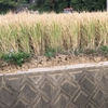 自宅から5mとなりの田んぼで、ホールクロップサイレージ(Whole Crop Silage)刈取りはじまった!!!