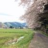 散りゆく遠山の8本桜に会いに行くサイクリング 散っていく桜の中を自転車で走る