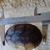 亀の身体測定