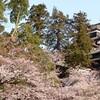 松江城の桜