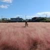 済州島(チェジュ島)フォトスポット #済州で最大のピンクミューリー畑「プクチョンエカミョン」