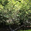烏骨鶏とグミの木