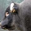 Le Boeuf de Bazas とってもおいしいバザス牛