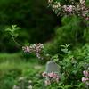 タニウツギの咲く頃
