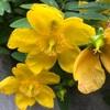 (紹介:植物)西新宿4丁目で見かけた黄色い花いいね