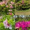 春から初夏の花7 ツツジ:万葉の時代から日本人に最も親しまれている植物の一つ.日本には17種ほどが自生.江戸時代中期に数多くの園芸品種が,江戸末期にはクルメツツジが,そして,明治から大正にかけて多くの品種がつくられています.万葉集/龍田道の岡辺の道に 丹(に)つつじのにほはむ時の桜花 咲きなむ時に山たづの迎へ参ゐ出む 君が来まさば