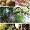 福を呼ぶ樹齢400年の大イチョウ