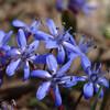 ふと出会った初春の花をコンデジで撮ってみる。キバナノアマナとシラーシビリカ