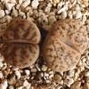 リトープス 珊瑚玉
