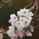 金沢城公園「十月桜」