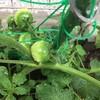 プランターの野菜たち