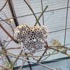 庭の木にハート型っぽいハチの巣を発見!