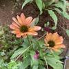 背の低いエキナセアも好き、ホワイト スワンとフラミンゴの開花