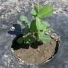 ジャンボ落花生の植え付け