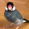 【初老の】ぶんちゃん【桜文鳥】