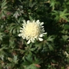 スカビオサ オクロレウカはこの時期咲くので貴重です