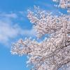 【お花見】を英語で説明「桜前線/開花予想/満開/見ごろ/散り際」は英語で?