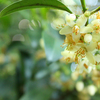 サカキ,榊,Cleyera japonica